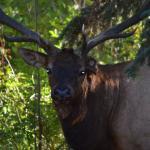 Bull elk enjoying the resort