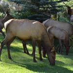 Elk at Boulder Brook