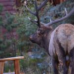 Bull elk by one of Boulder Brook's benches