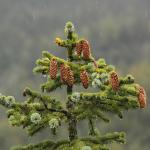 Pine Top