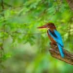WhiteThroated Kingfisher