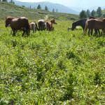 Pferde allerortens im Altai