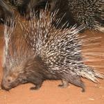 Porcupine feeding