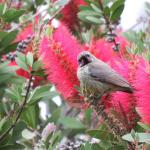 Sunbird in the bottlebrush tree