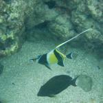 Moorish idol fish