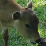 Friendly calf next door