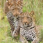 Leopard brothers