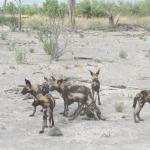 We ran with the Wild Dogs before they settled.