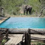 Olifanten kijken vanuit het zwembad
