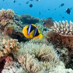 Orange Finned Anemone Fish