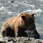 Bear are great fishermen