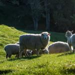Friendly Sheep at Montrose Estate