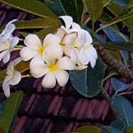 Fragrant frangipani at Robin Hill