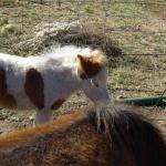 Play with the mini horses to your heart's content.