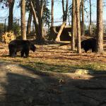 Black Bears at NC Zoo