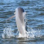 Leaping dolphin