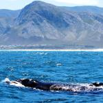 Southern Right Whale and calf, Hermanus