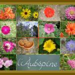 Fleurs du jardin -août 2014