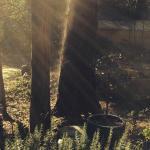 Sun rays and cedars