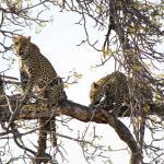 Leopardin mit Jungem