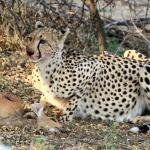 Gepard mit jungem Buschbock