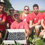 Our team harvesting our Haskap Berries