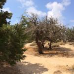 Kedros Tree in the Beach
