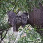 Tawney Frogmouths