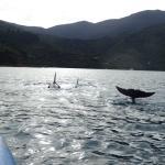 Dolphins surround kayak in QC Sound
