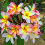 frangipani - plenty on the island