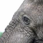 Elephant & eye