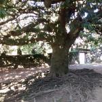 Árbol muy viejo que las raíces salen de la tierra