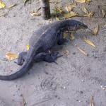 Monitor Lizard Nikoi