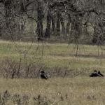 Vultures Stalking a Newborn Calf (in grass)