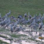 Most flocks landed near the wet grassy field