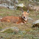 Ethiopian Wolf seen in the Bale Mountains nearby