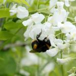Local Bumble Bee