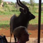 Nyala Bull visit