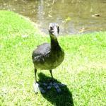 A Grebe chick