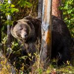 Grizzley Bear Refuge