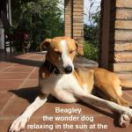Beagley the Hacienda dog