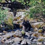 Black bear learns to fish