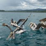 Pelicans while fishing after snorkelling and dolphin watching