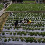 Chun Hsiang Strawberry Farm resmi
