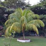 Dimunitive Coconut Tree
