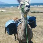 Photo de Kaikoura Llama Trekking