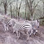 The story behind why the zebras were standing in this position was captivating