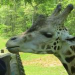 My favorite thing to do at the zoo, is the giraffe deck. For $2, you are given lettuce to feed t