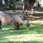 Warthogs, zebra & bushbuck roam the grounds