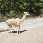 lama's op straat